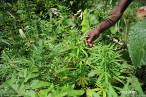 Marijuana cultivation is illegal in Saint Lucia